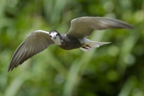 Zwarte Stern Chlidonias niger Black Tern