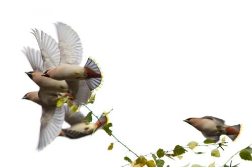 Pestvogel Bohemian Waxwing Bombycilla garrulus