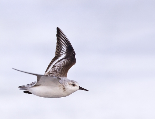 drieteenstrandloper sanderling Calidris alba