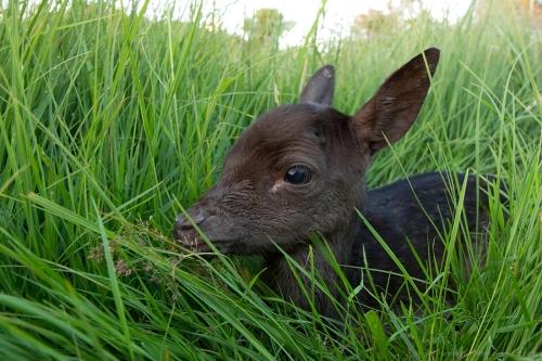 damhert dama dama fallow deer jong baby