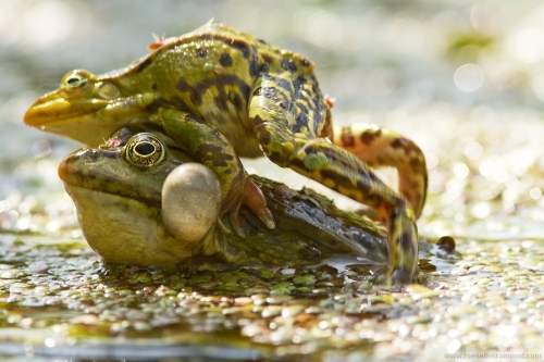poelkikker Rana lessonae kleine groene kikker pool frog