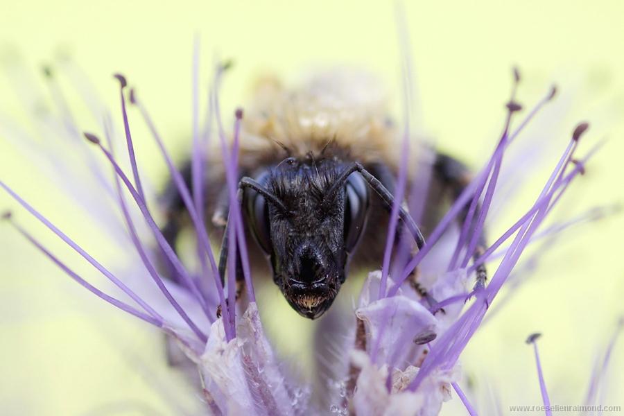 hommel Bombus bumble bee