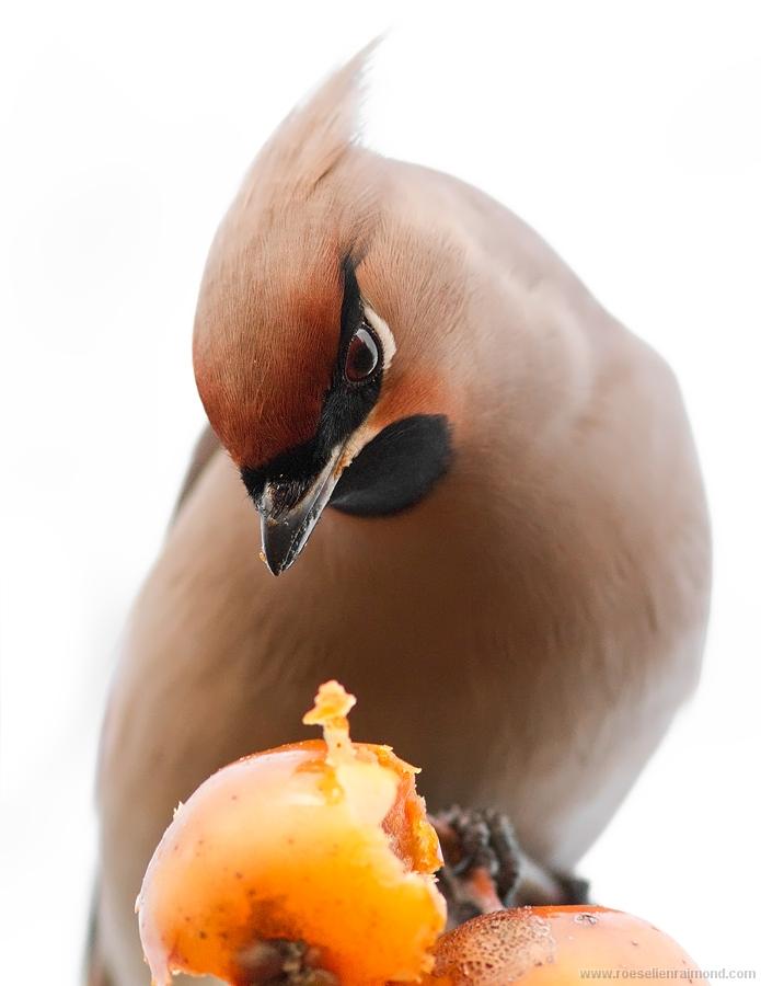 Pestvogel waxwing Bombycilla garrulus bohemian