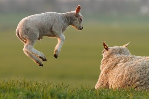 lammetje lam schaap springen sprong lente rennen spelen