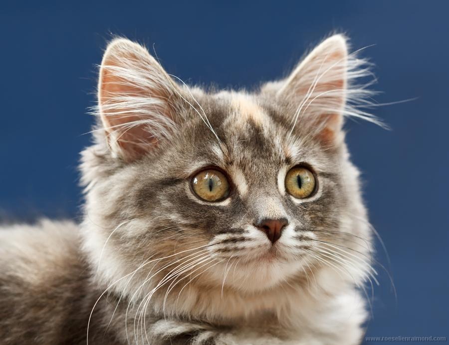 Kitten portret