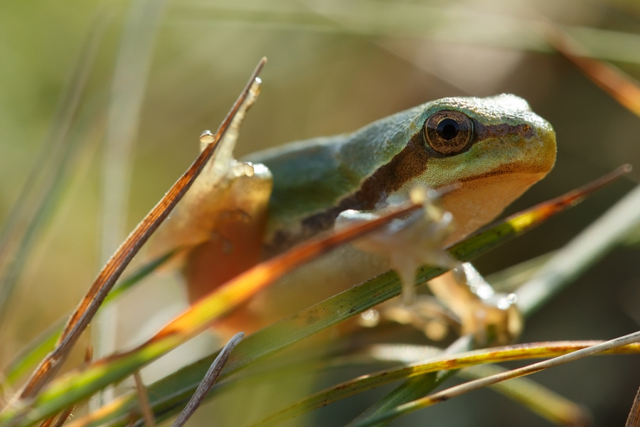 boomkikker hyla arborea tree frog