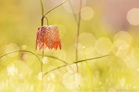 Kievitsbloem snake's head fritillary Fritillaria meleagris dauw zonsopkomst