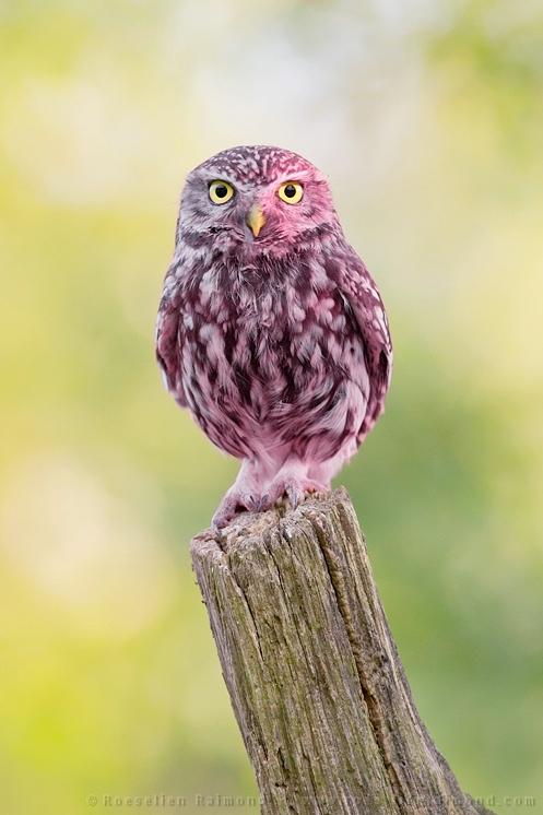 erythrisme roze pigment pink steenuil