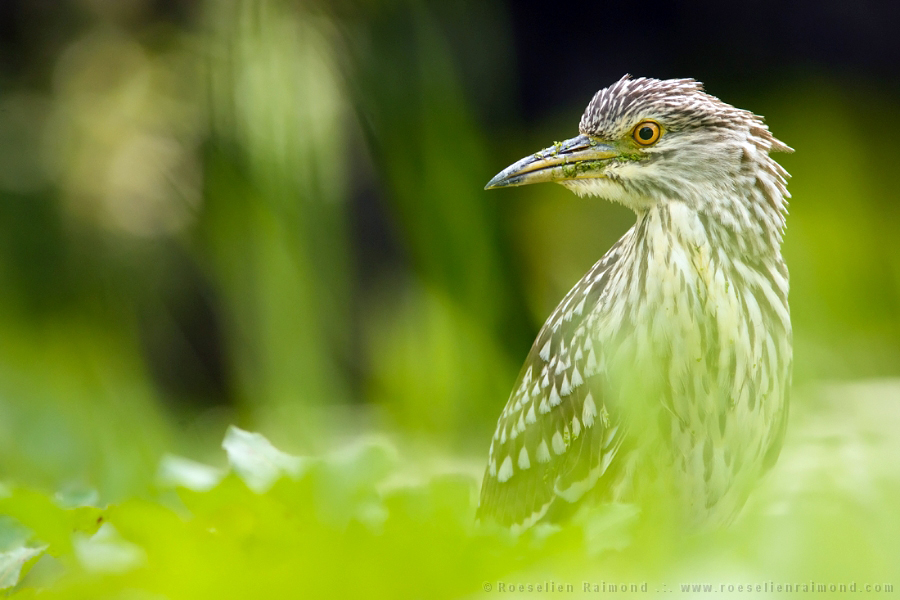 Nycticorax nycticorax,kwak,Black-crowned night heron