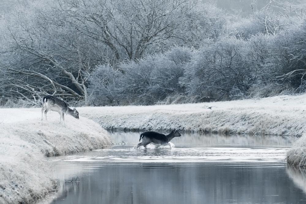 Damhert en ijsvogel erijpt, winters landschap, compleet wit door aangevroren mist