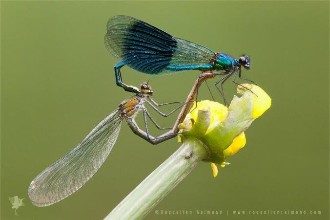 Calopteryx splendens weidebeekjuffer parend