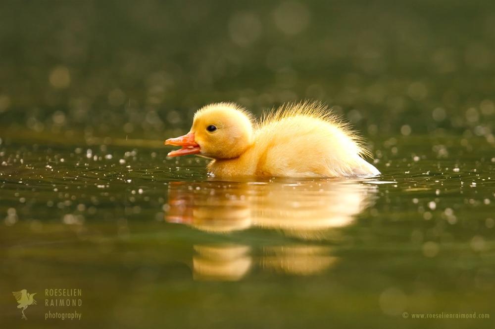 Geel eend met reflectie